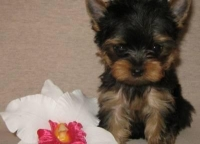 Charming T-Cup Yorkie Puppies available for Xmas (760) 491-7624
