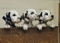 Pure-breed Dalmatian Puppies for good homes!