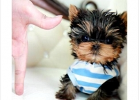 Pedigree Teacup Yorkie Puppies For Good Homes.Text us at (406) 4