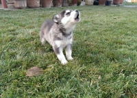 Fully registered AKC Siberian husky puppies.