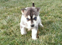 Fully registered AKC Siberian husky puppies