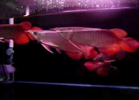 MAGNIFICENT AROWANA FISHES AT VERY GOOD PRICES TEXT (505)386-2742