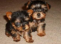 Beautiful Teacup Yorkie Pups for Sale